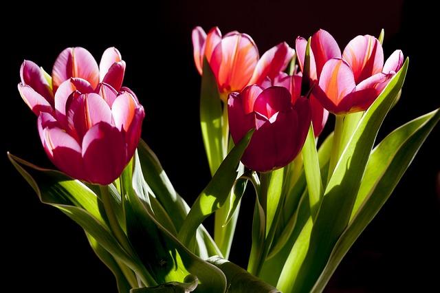 krásné tulipány