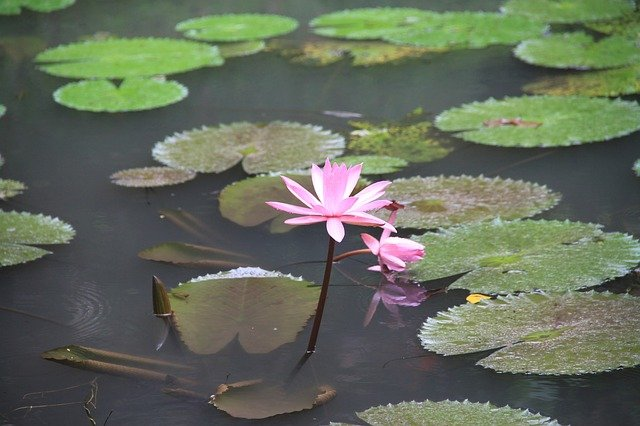 lotus na hladině